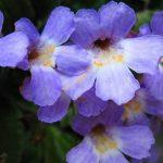 Орфеевото цвете – Уникално цвете с много имена е живяло с легендите