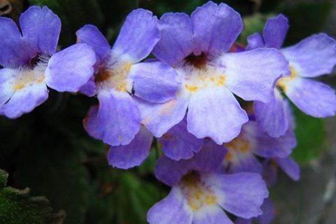 Орфеевото цвете